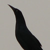 Boat-tailed Grackle - FL Welcome Center