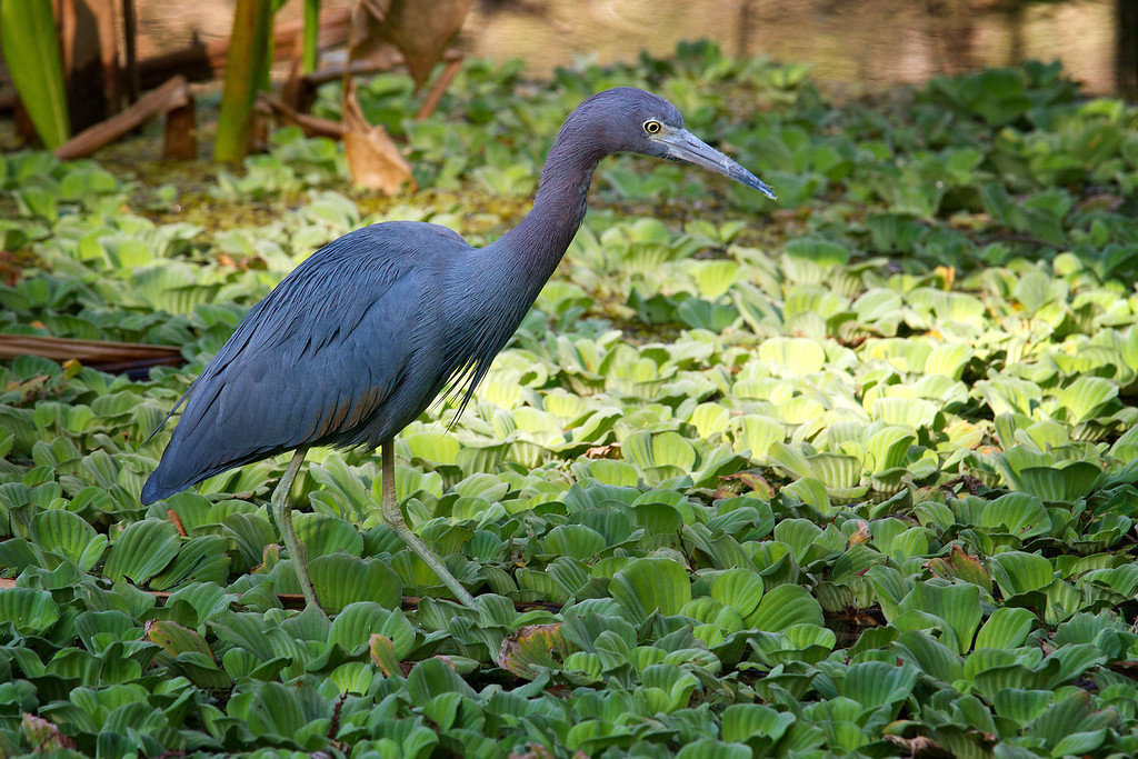 A Little Blue Heron walking carefully on top of water lettuce looking for crayfish.
