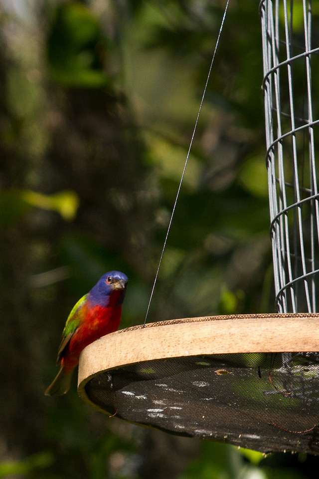 A Painted Bunting getting a free meal.