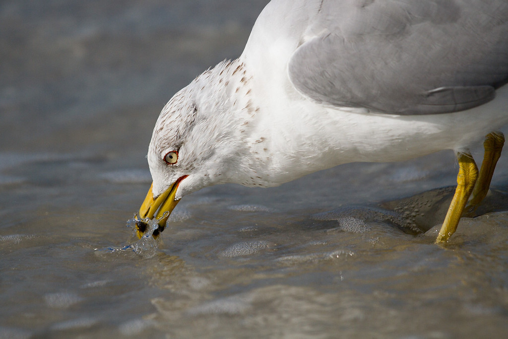 Ring billed gull searching for food