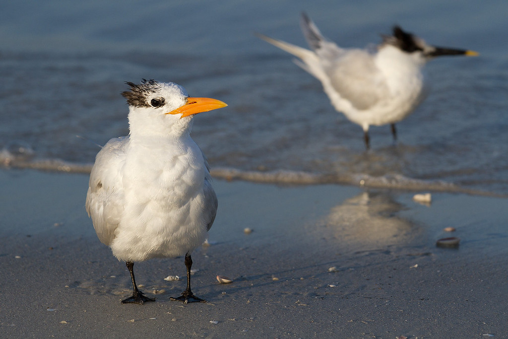 Two Royal Terns trying to figure out if I have food