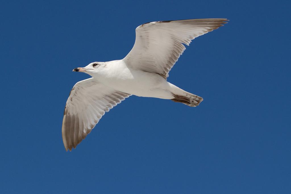 Ring billed gull in flight