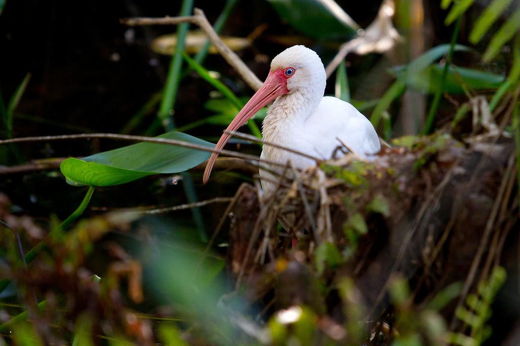 A White Ibis hiding behind some brush.