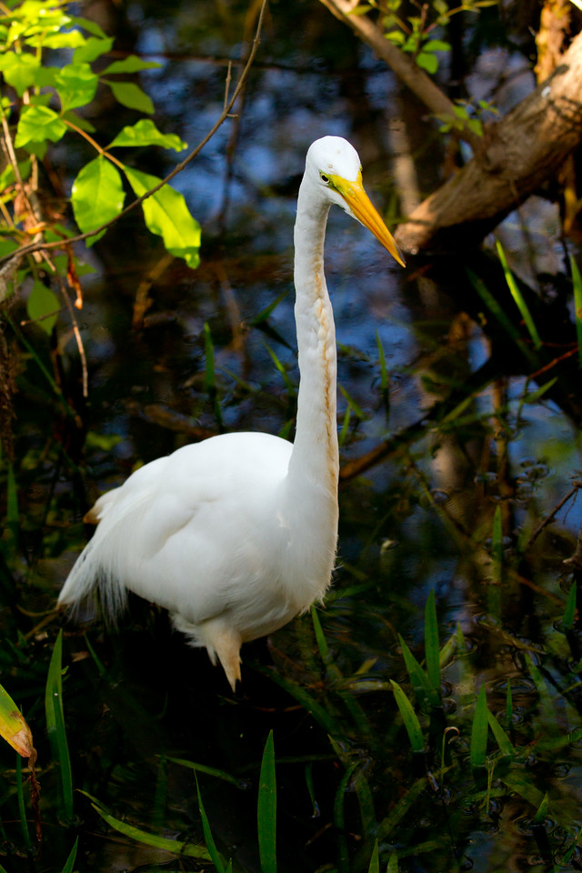 The Great Egret hunting for crayfish.