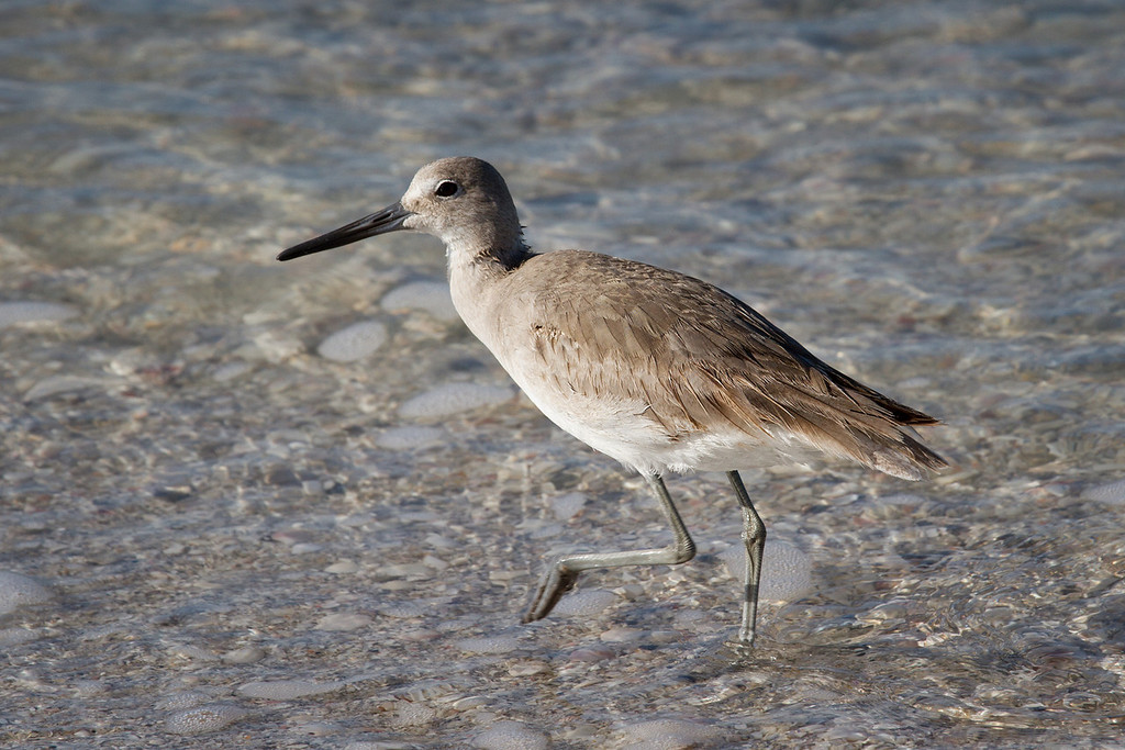 It took me a while to figure out this bird but I'm pretty sure it's a Willet.
