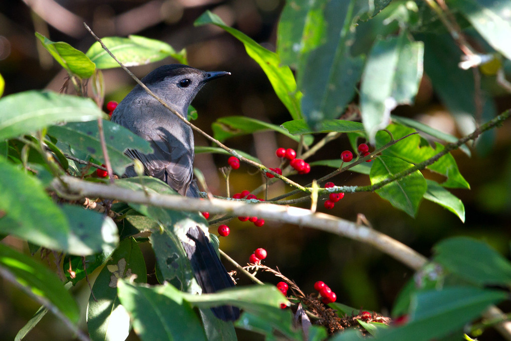 I think this is a Gray Catbird