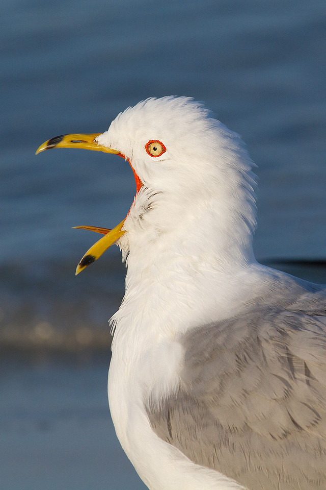 A ring billed gull impersonating a Belchers gull