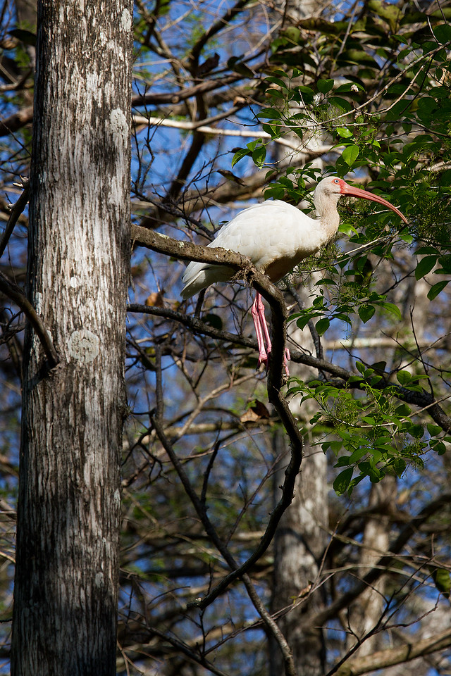 White Ibis getting a better vantage point high up on a branch.