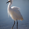 Check out my plumage - Snowy Egret