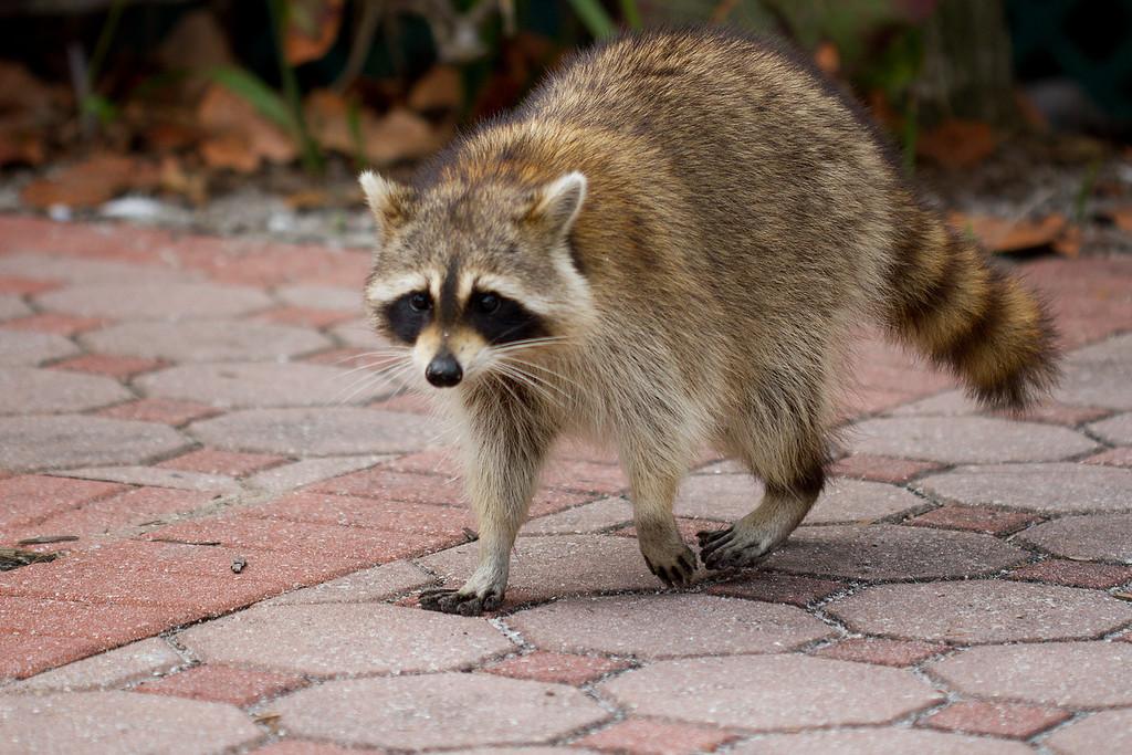 Local Raccoon