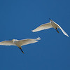 Two Snowy Egrets in flight