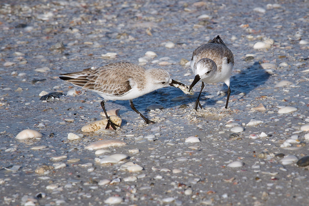 Two Sanderlings fighting over a small meal.