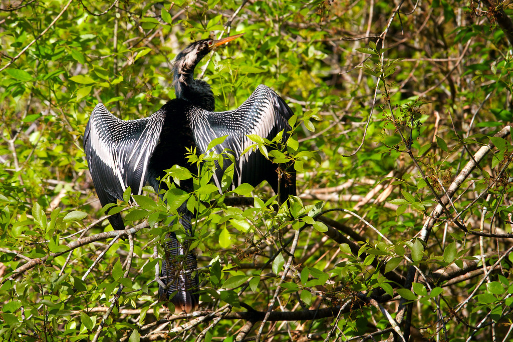 An Anhinga drying out it's feathers after a midday hunt.