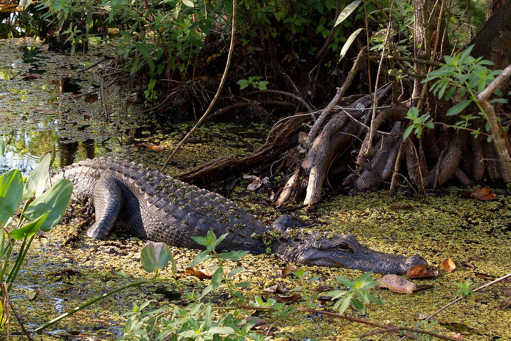 About a 6 foot Alligator warming up in the sun.