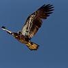 Juvenile Bald Eagle in flight