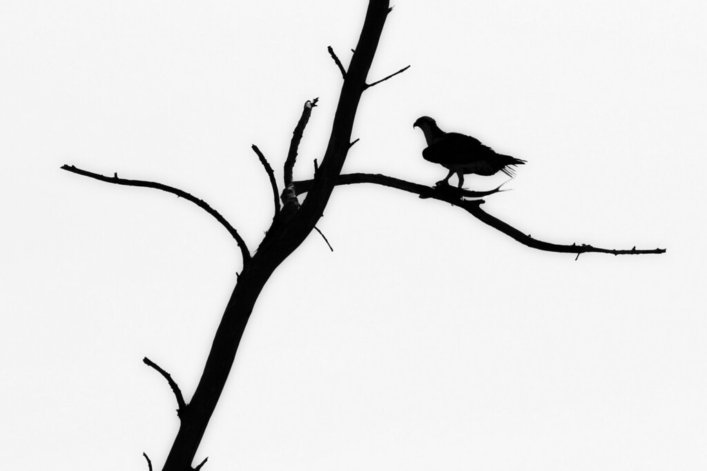 Silhouette of an Osprey with it's catch.