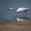A Snowy Egret hunting for lunch