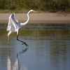 Great Egret coming in for a landing...