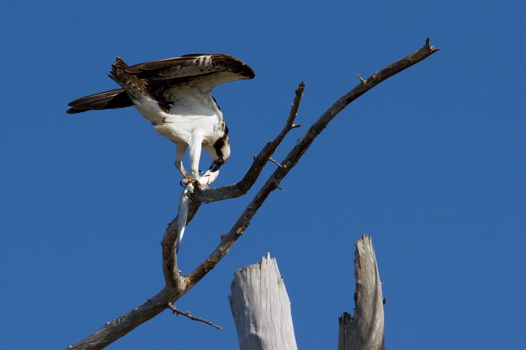 An Osprey enjoying his/her catch.