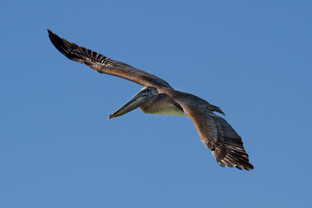 Pelican getting ready to dive bomb into the Gulf