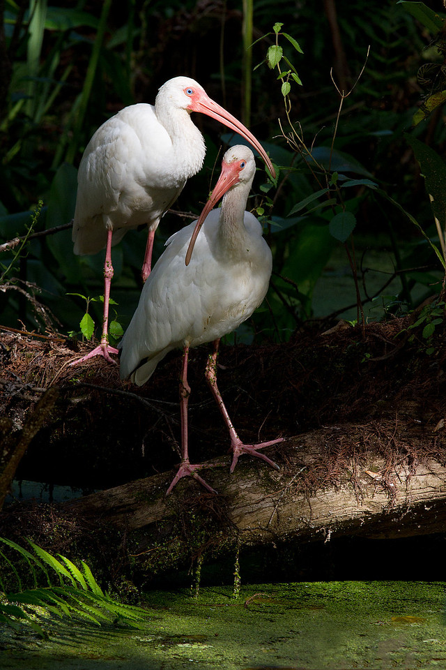 A pair of White Ibis enjoying some of the winter Florida sun trickling through the overhead canopy.