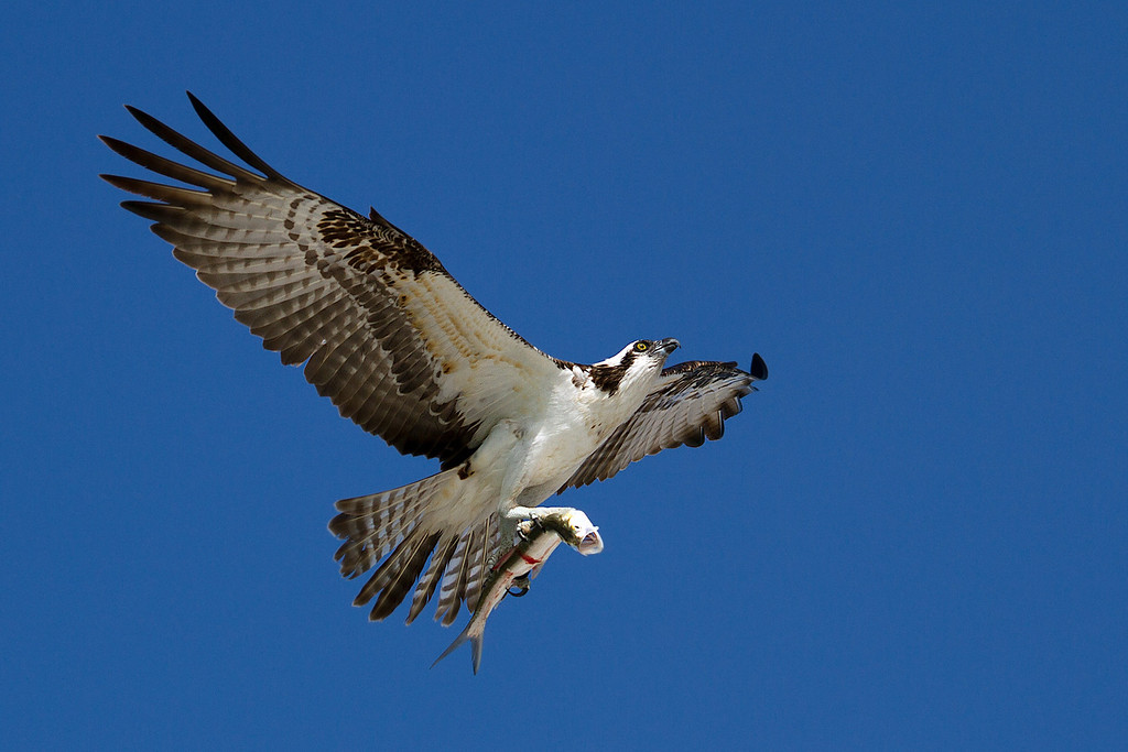 Osprey enjoying an early lunch.  Today's menu: mullet