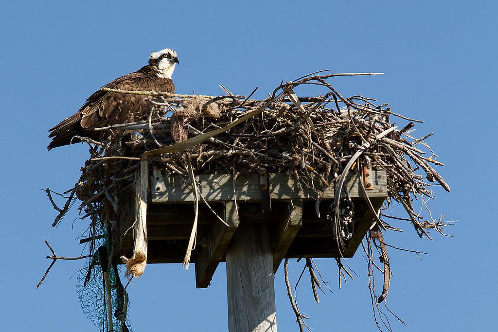 Osprey tending to her nest