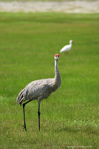 Sandhill Crane, North-Central Florida