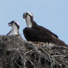 Ospreys in Nest on Top of Utility Pole - Orlando, Florida