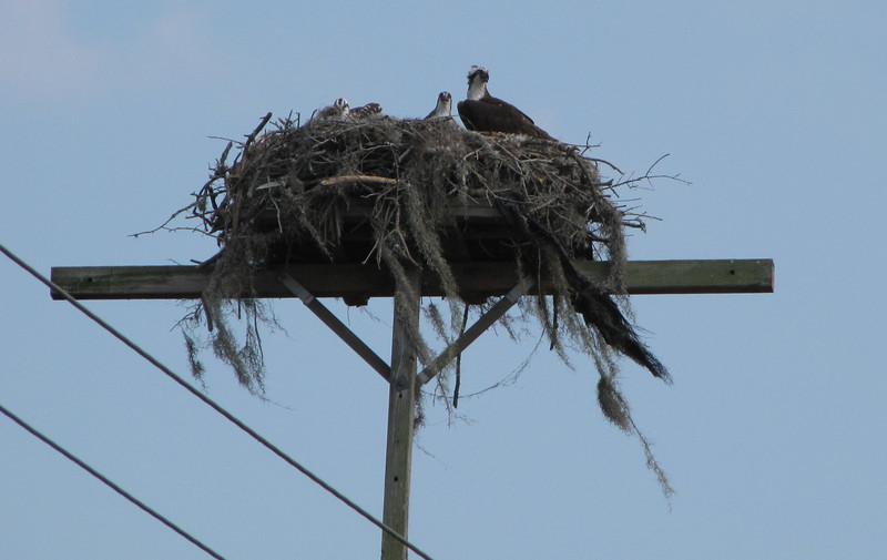 Osprey Nest on Utility Pole Along Highway - Orlando, Florida
