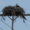 Osprey Nest on Utility Pole Along Highway - Orlando, Florida