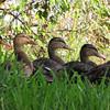 This Mama Mallard Duck Has Her Ducks in a Row - Orlando Hotel