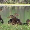 Mallard Ducks at Pond Behind Hotel - Orlando, Florida