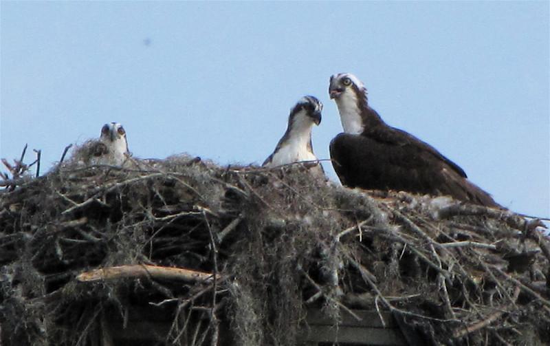 Ospreys in Nest on Utility Pole - Orlando, Florida