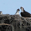 Ospreys in Nest on Utility Pole - Orlando, Florida