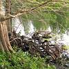Gnarled Vines at Base of Cypress TreeMallard Ducks at Pond Behind Hotel - Orlando, Florida