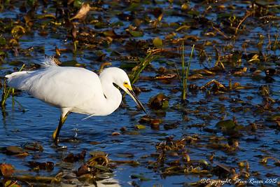 Little Egret fishing - Paynes Prairie State Park, FL