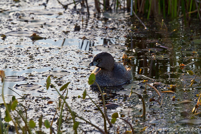 Pied BIlled Grebe - Paynes Prairie State Park, FL