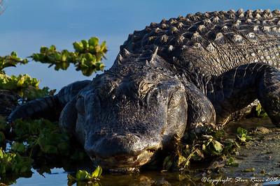 American Alligator - Paynes Prairie State Park, FL