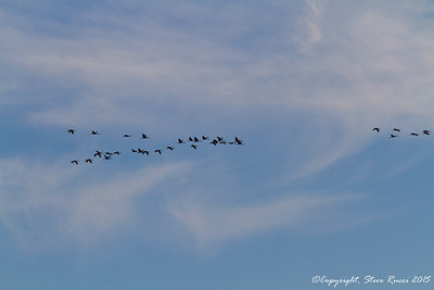 A flock of Sandhill Cranes flies over - Paynes Prairie State Park, FL