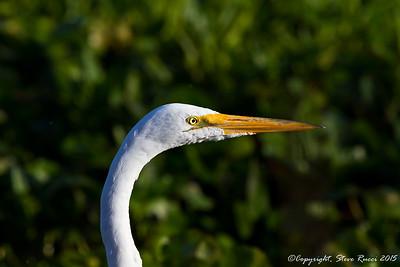 Great Egret - Paynes Prairie State Park, FL