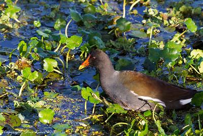 Common Moorhen - Paynes Prairie State Park, FL