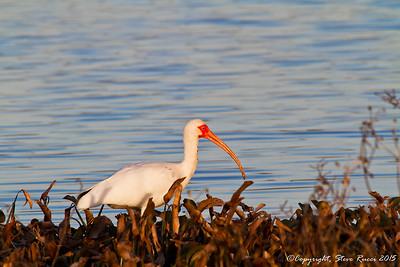 White Ibis - Paynes Prairie State Park, FL
