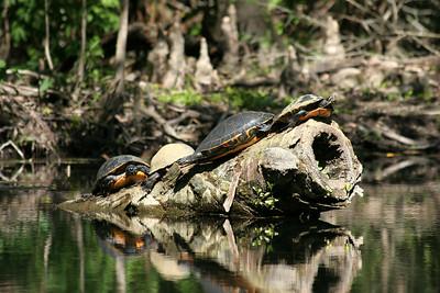 Turtles on a log