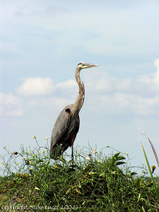 Great Blue Heron along the Tram Road, Shark Valley - Everglades National Park