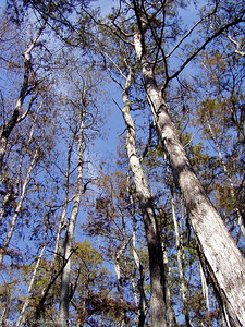 Looking up into the Cypress trees, Corkscrew Swamp Sanctuary
