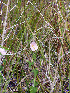 Wildflower - Shark Valley, Everglades National Park