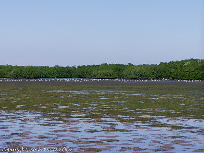 Birds foraging the mud flats, J.N. Ding Darling NWR
