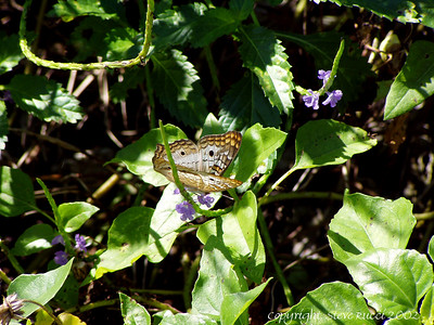 Butterfly - Corkscrew Swamp Sanctuary