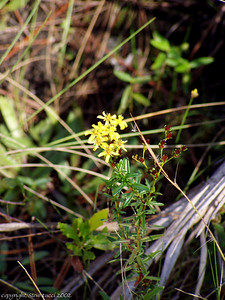 Wildflower, Corkscrew Swamp Sanctuary